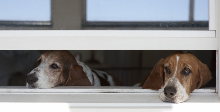 Beagles look out open window with no window treatment in Orlando.